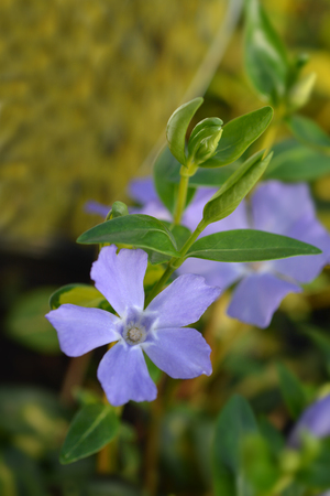 Lesser Periwinkle Illumination - Latin name - Vinca minor Illumination