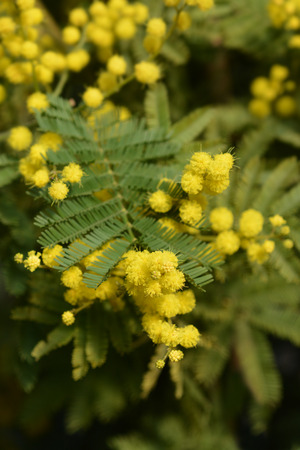Silver wattle - Latin name - Acacia dealbata