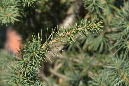 Cedar of Lebanon - Latin name - Cedrus libani Stock Photo
