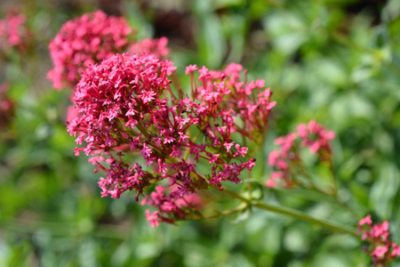 Red valerian - Latin name - Centranthus ruber Stock Photo
