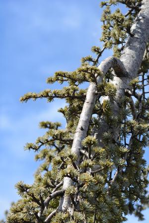 Weeping Blue atlas cedar - Latin name - Cedrus atlantica Glauca Pendula