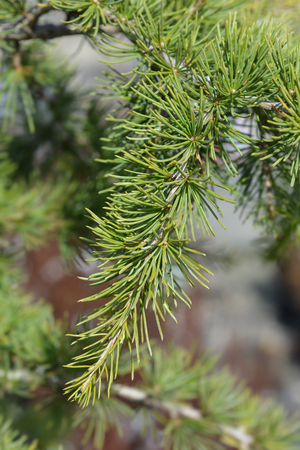 Sargentii Cedar of Lebanon - Latin name - Cedrus libani Sargentii