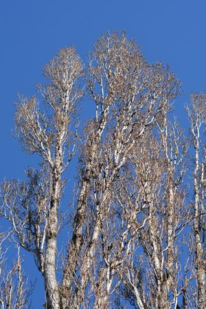 Lombardy poplar - Latin name - Populus nigra var. italica