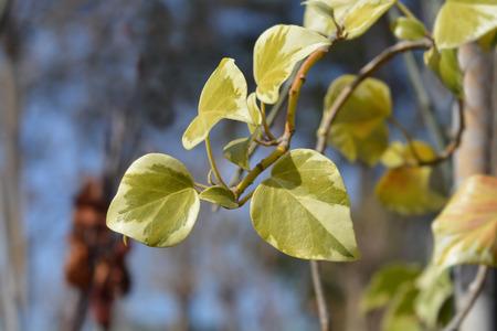 Ivy Dentata variegata - Latin name - Hedera colchica Dentata variegata (syn. Hedera colchica Dentata aurea) Stock Photo