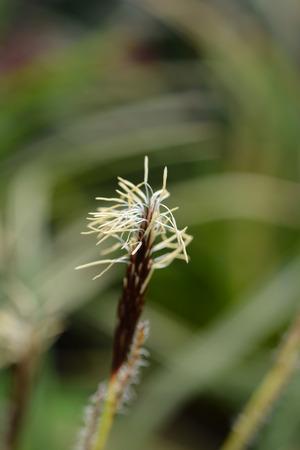 Japanese Sedge Variegata - Latin name - Carex morrowii Variegata Stock Photo