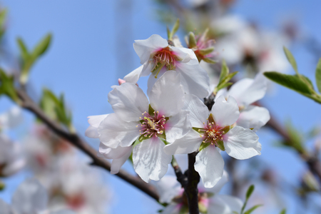 Almond flower - Latin name - Prunus dulcis (syn. Prunus amygdalus)