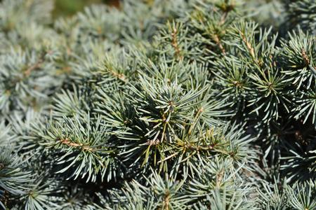 Blue Cedar - Latin name - Cedrus libani Glauca Stock Photo