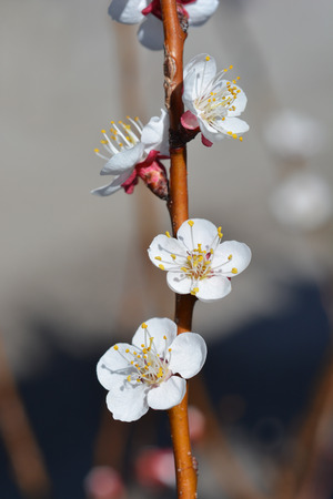 Apricot tree flower - Latin name - Prunus armeniaca