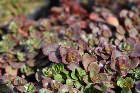 Stonecrop Dragons blood - Latin name - Sedum spurium Schorbuser Blut Stockfoto