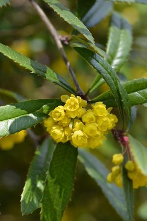 Wintergreen barberry - Latin name - Berberis julianae