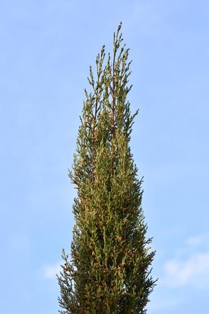 Cyprès italien - Nom latin - Cupressus sempervirens Pyramidalis