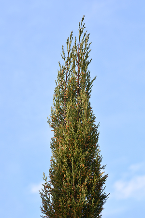 Italian Cypress - Latin name - Cupressus sempervirens Pyramidalis