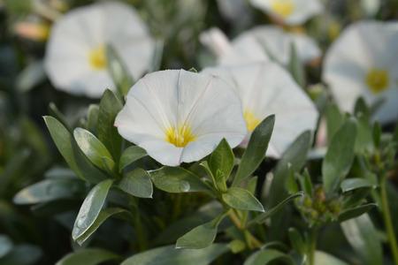 Shrubby bindweed - Latin name - Convolvulus cneorum Stok Fotoğraf