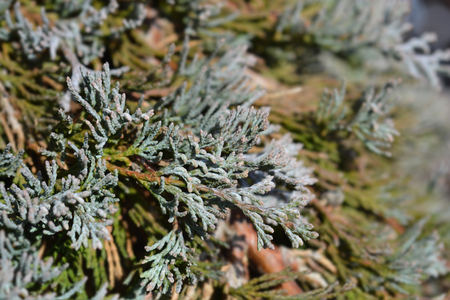 Creeping juniper Glacier - Latin name - Juniperus horizontalis Glacier