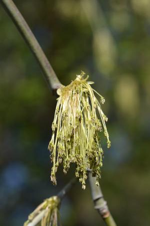 Boxelder maple - Latin name - Acer negundo