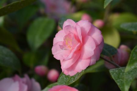 Camellia Spring Festival - Latin name - Camellia x williamsii Spring Festival
