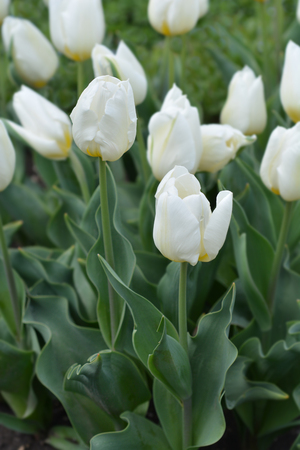 Tulip Coquette - Latin name - Tulipa Coquette