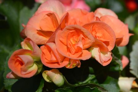 Orange Winter-flowering begonia - Latin name - Begonia x hiemalis (Begonia Elatior hybrids) 写真素材