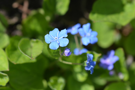 Blue-eyed Mary - Latin name - Omphalodes verna