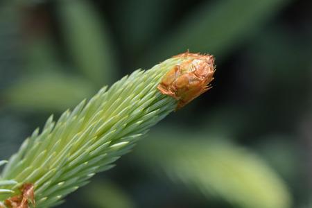 Fat Albert Colorado blue spruce - Latin name - Picea pungens Fat Albert