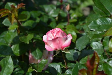 Rose La Minuette - Latin name - Rosa La Minuette