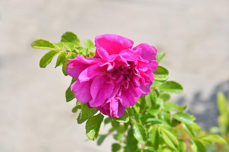 Rugosa rose - Latin name - Rosa rugosa