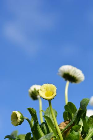 English daisy cultivar against blue sky - Latin name - Bellis perennis