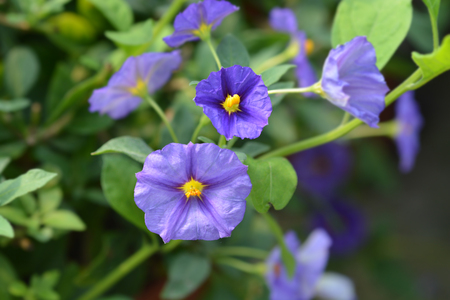 Blue potato bush - Latin name - Lycianthes rantonnetii
