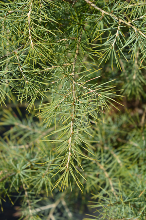 Deodar cedar - Latin name - Cedrus deodara Stock Photo