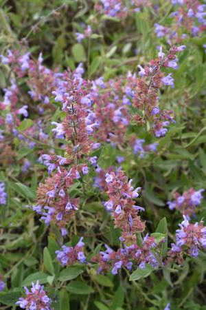 Common sage flowers - Latin name - Salvia officinalis