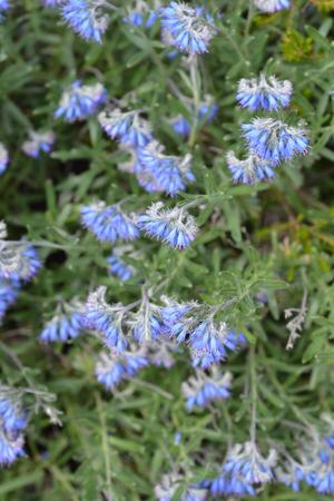 Balkan endemic blue flower - Latin name - Moltkia petraea
