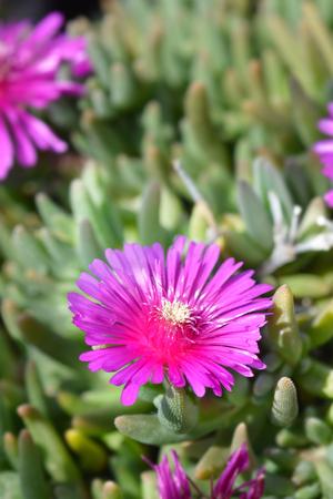 Trailing Iceplant pink flower - Latin name - Delosperma cooperi