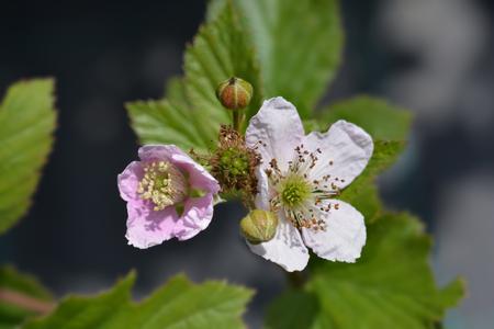 Blackberry flowers - Latin name - Rubus fruticosus Reklamní fotografie