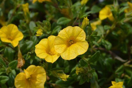 Calibrachoa Calipetite Yellow - Latin name - Calibrachoa hybrida Calipetite