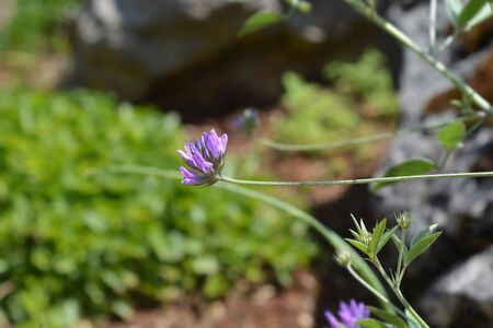 Btumen trefoil flower - Latin name - Bituminaria bituminosa