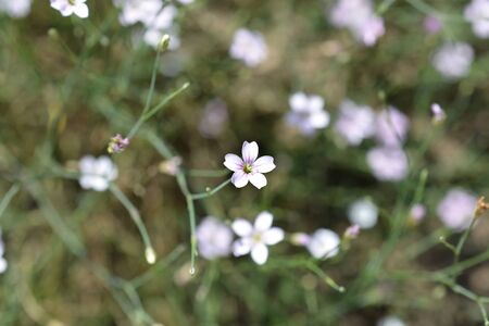 Saxifrage pink flower - Latin name - Petrorhagia saxifraga Reklamní fotografie