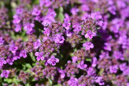 Breckland thyme flowers - Latin name - Thymus serpyllum