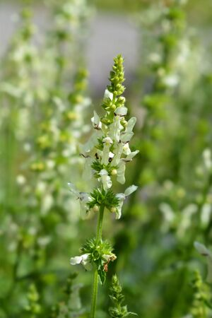 Stiff hedgenettle flowers - Latin name - Stachys recta