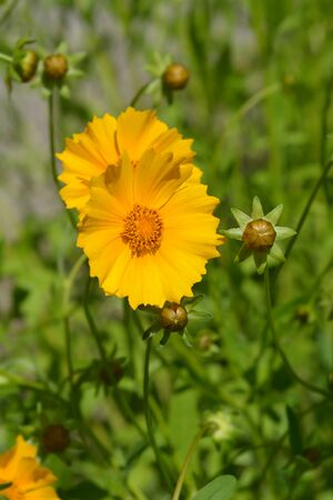 Star tickseed orange flower - Latin name - Coreopsis pubescens