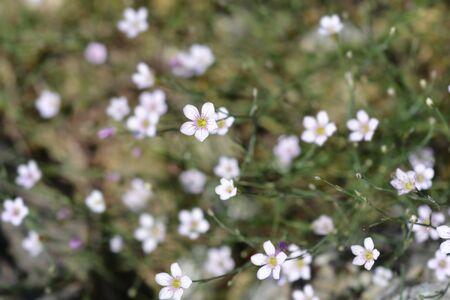Saxifrage pink small flower - Latin name - Petrorhagia saxifraga Reklamní fotografie
