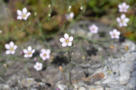 Saxifrage pink small flowers - Latin name - Petrorhagia saxifraga Reklamní fotografie