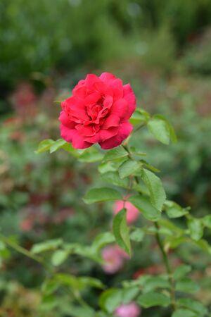 Climbing red rose Cassandre - Latin name - Rosa Cassandre
