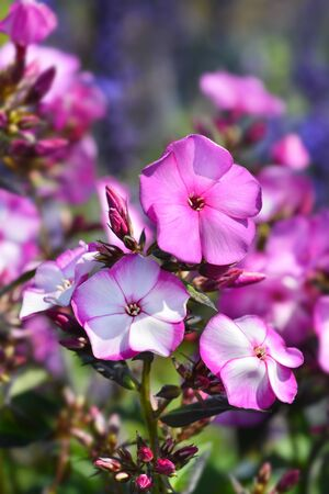 Perennial phlox Amethyst - Latin name - Phlox paniculata Amethyst