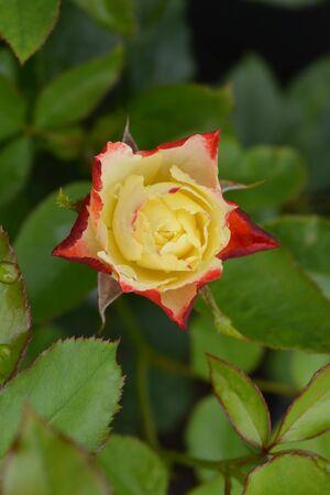 Origami Floribunda rose (Rosa Cluster-flowered bush hybrid) - Latin name - Rosa floribunda Origami