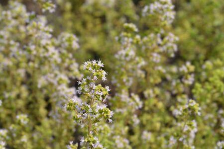Common marjoram flowers - Latin name - Origanum vulgare