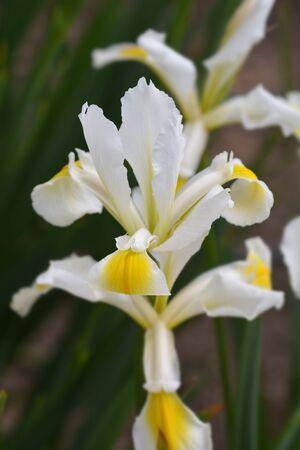 Turkish iris - Latin name - Iris orientalis (Iris ochroleuca)
