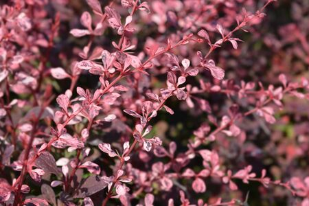 Japanese barberry Harlequin - Latin name - Berberis thunbergii Harlequin 写真素材