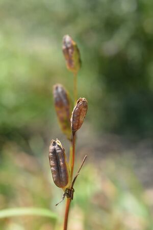 Siberian iris seed pod - Latin name - Iris sibirica Фото со стока