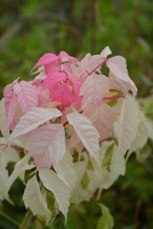 Boxelder maple Flamingo - Latin name - Acer negundo Flamingo Stock Photo