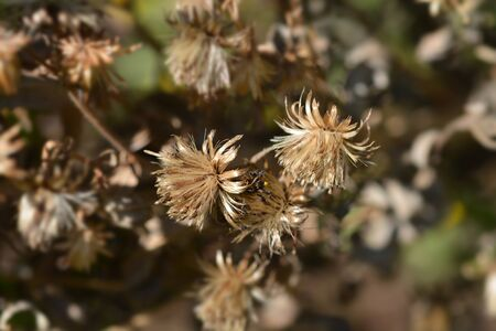 Sticky aster seed heads - Latin name - Dittrichia viscosa